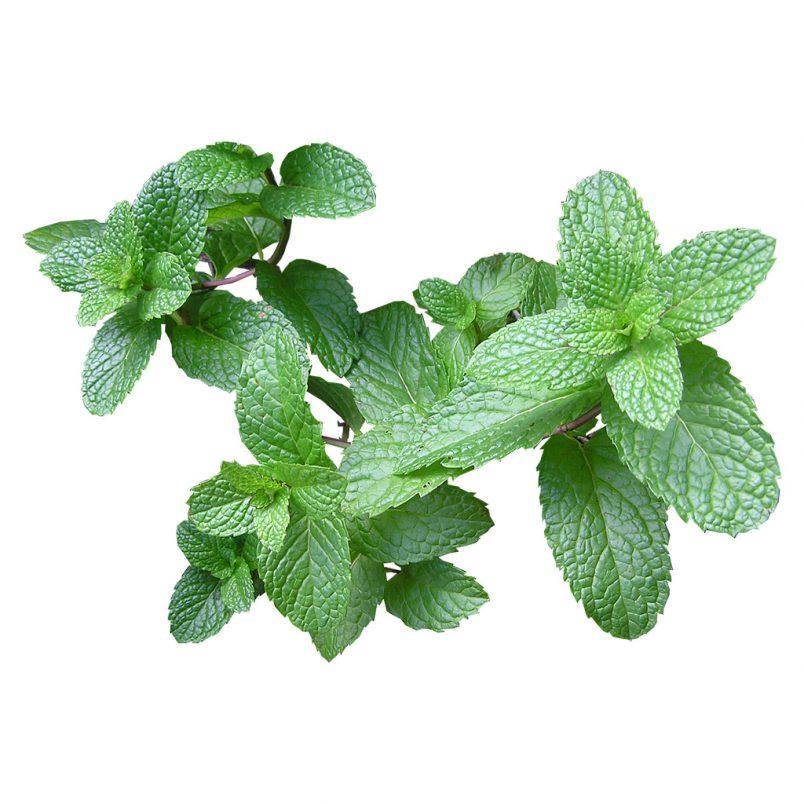 Fresh Organic Mint Herb