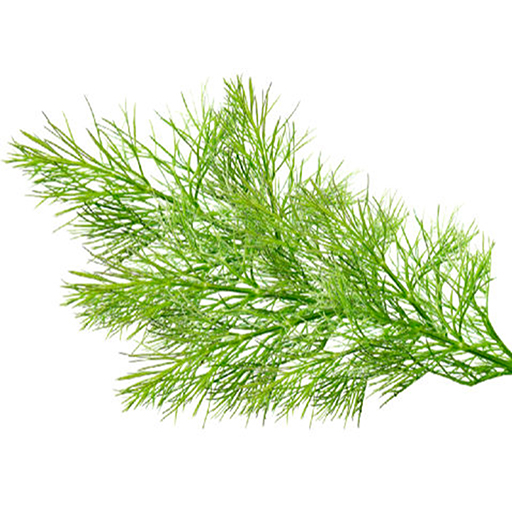 Fresh Organic Fennel Fronds Herbs